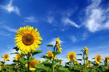 bigstock-Sunflower-Field-6211930