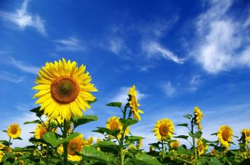 bigstock-Sunflower-Field-6211930